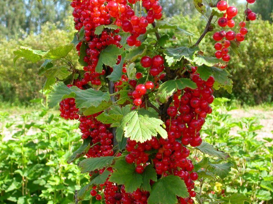 Растение с красными ягодами - смородина