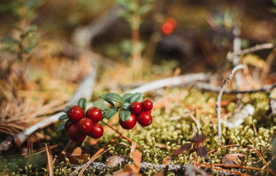 Ягода красного цвета - брусника