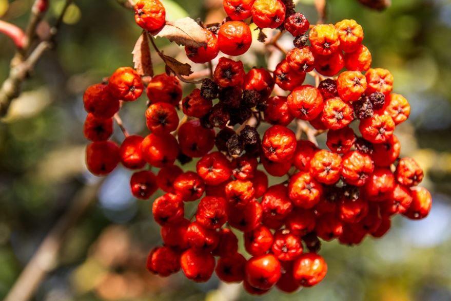 Дерево с красными ягодами - рябина