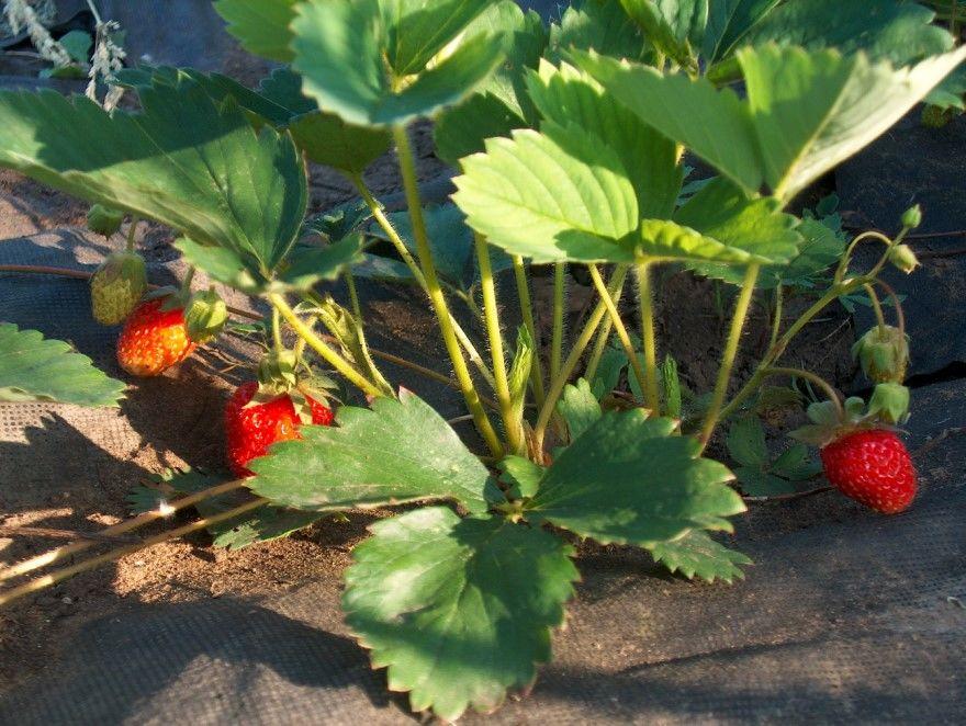 Клубника весной сорта фото рассада выращивание
