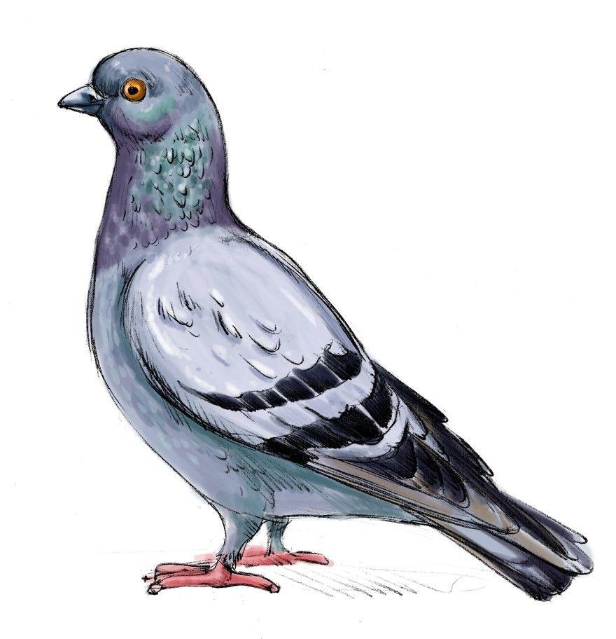 Картинка голубя мультяшного