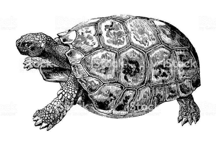 Читать рассказ Черепаха Толстой бесплатно онлайн скачать