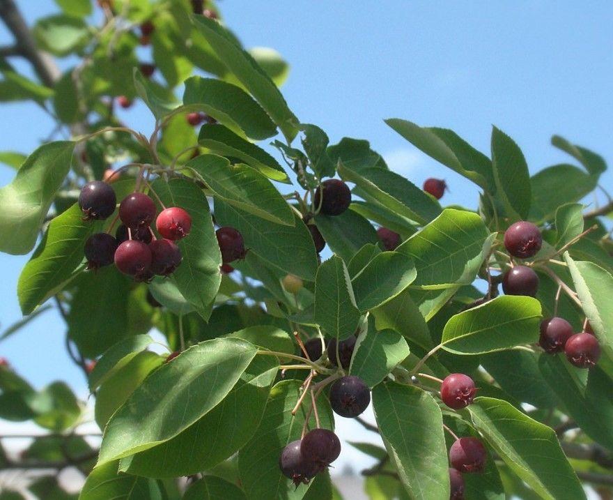 Ирга ягоды фото кустарник дерево